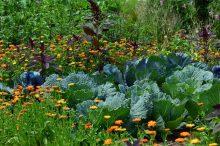 zahrádka, komunitní pěstování, zelenina