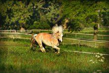 koně, kůń, pastva, pastvina